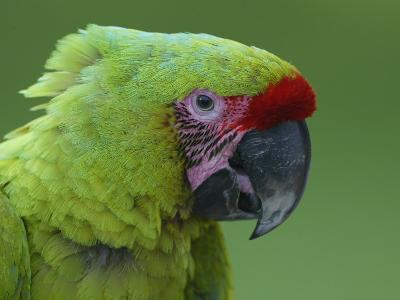 Military Macaw Head-Arthur Morris-Photographic Print