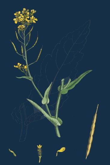 Milium Effusum; Wood Millet-Grass--Giclee Print