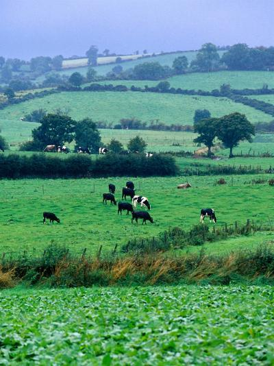 Milking Cows in Paddock, United Kingdom-Oliver Strewe-Photographic Print