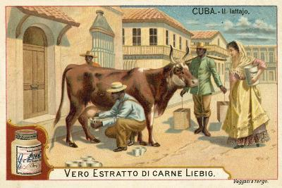 Milking, Cuba--Giclee Print