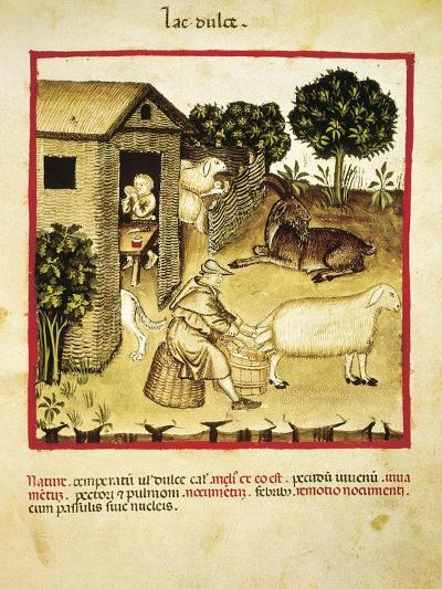 Milking Sheep, Miniature by Giovannino De Grassi from the Tacuinum Sanitatis--Giclee Print