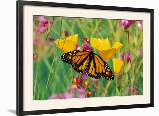 Milkweed Butterfly on California--Framed Photographic Print