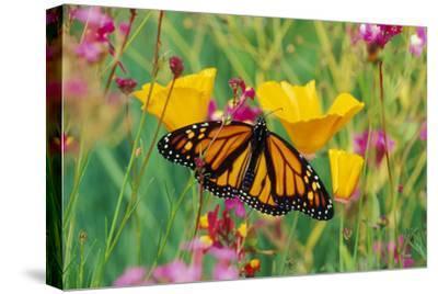 Milkweed Butterfly on California