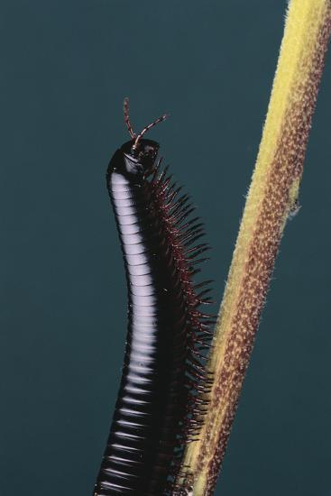 Millipede Climbing a Stem-DLILLC-Photographic Print