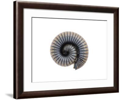 Millipede Rolled Up for Defense, Alicante, Spain-Niall Benvie-Framed Photographic Print