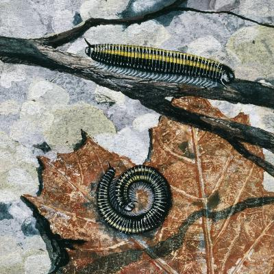 Millipedes (Julus Sp), Diplopoda, Drawing--Giclee Print