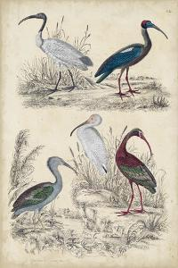 Ibis Family by Milne