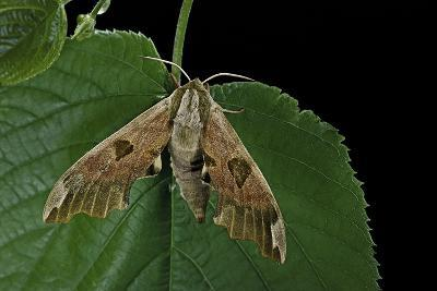 Mimas Tiliae (Lime Hawk Moth)-Paul Starosta-Photographic Print