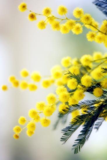 Mimosa (Acacia Dealbata)-Maria Mosolova-Photographic Print