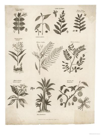 Mimosa Pepper Nutmeg Camphor and Other Herbs and Plants--Giclee Print