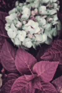 Hydrangea by Mindy Sommers