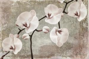 Orchids by Mindy Sommers