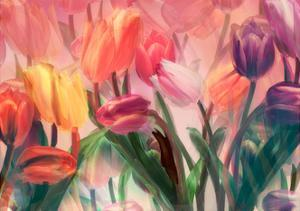 Tulip Flamenco by Mindy Sommers