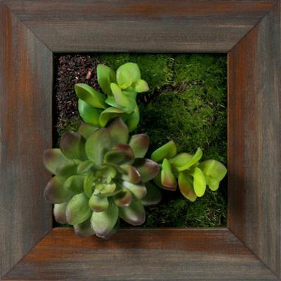 Mini Echeveria Jade Square - Grayson Mahogany