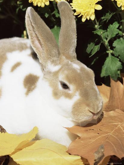 Mini Rex Domestic Rabbit, USA-Lynn M^ Stone-Photographic Print