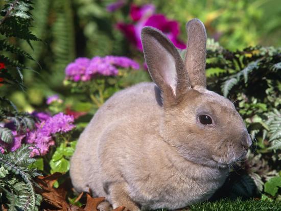 Mini Rex Rabbit, USA-Lynn M^ Stone-Photographic Print