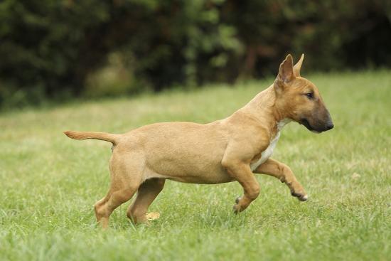 Miniature Bull Terrier--Photographic Print