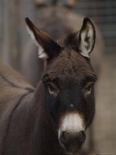 Miniature Donkey at the Riverside Zoo-Joel Sartore-Photographic Print