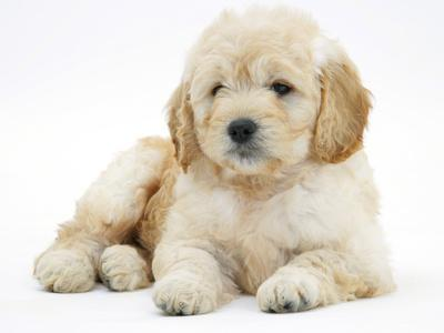 https://imgc.artprintimages.com/img/print/miniature-goldendoodle-puppy-golden-retriever-x-poodle-cross-7-weeks-lying-down_u-l-q10o9zx0.jpg?p=0