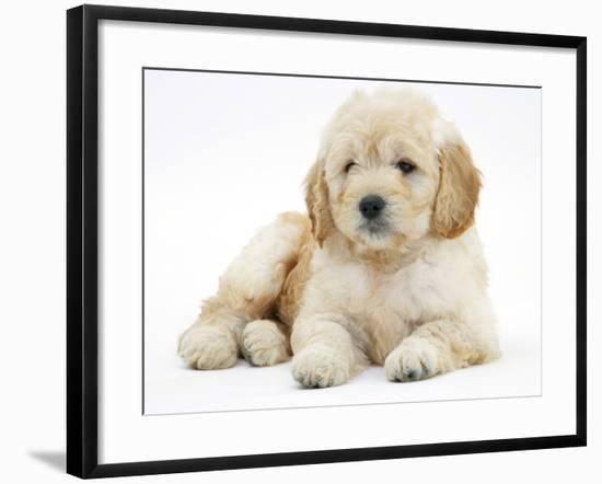 Miniature Goldendoodle Puppy (Golden Retriever X Poodle Cross) 7 Weeks, Lying Down-Mark Taylor-Framed Photographic Print