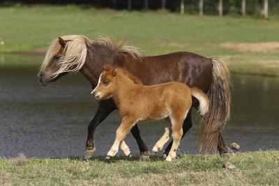 Miniature Horse 002-Bob Langrish-Photographic Print