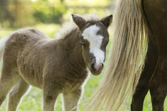 Miniature horse filly with mom, mare,-Maresa Pryor-Premium Photographic Print