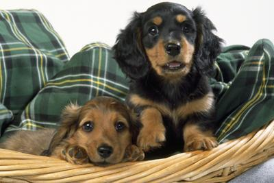 Miniature Long-Haired Dachshund Dog Puppies in Basket
