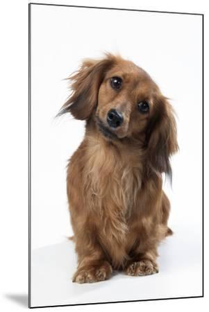 Miniature Long-Haired Dachshund