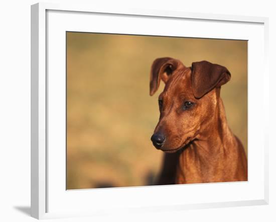 Miniature Pinscher Portrait-Adriano Bacchella-Framed Photographic Print