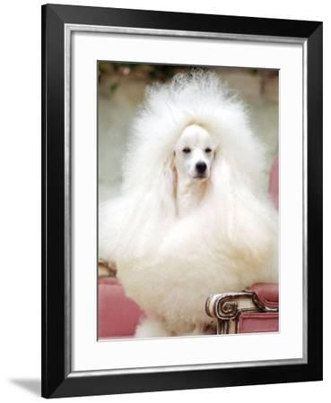 Miniature poodle sitting in armchair at 88th annual Westminster Kennel Club Dog Show.-Nina Leen-Framed Photographic Print