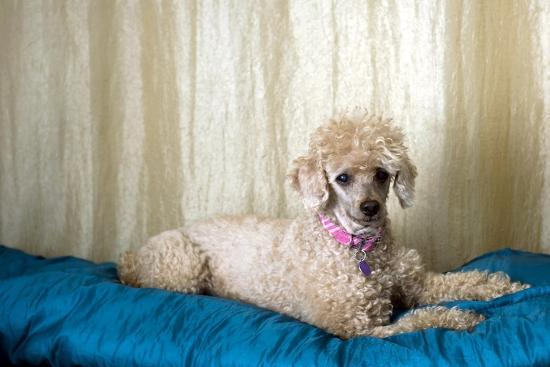 Miniature Poodle--Photographic Print