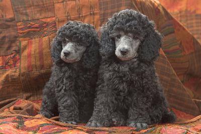 Miniature Poodles--Photographic Print