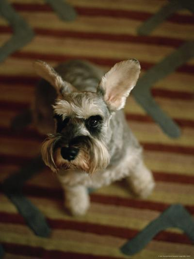 Miniature Schnauzer Dog Looks at the Camera-xPacifica-Photographic Print