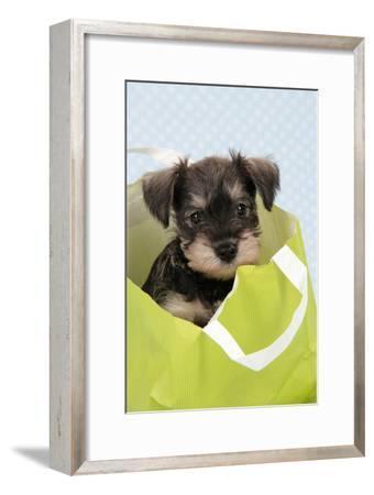 Miniature Schnauzer Puppy (6 Weeks Old) in Bag