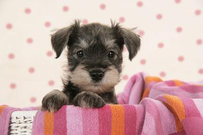 Miniature Schnauzer Puppy (6 Weeks Old)--Photographic Print