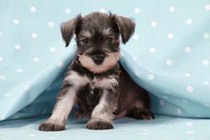 Miniature Schnauzer Puppy (6 Weeks Old)