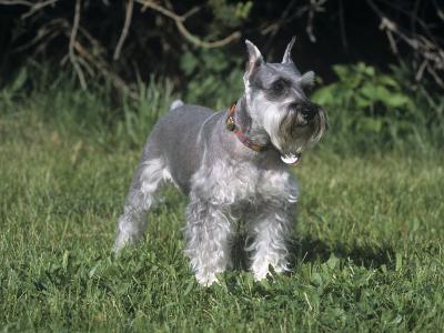 Miniature Schnauzer Variety of Domestic Dog-Cheryl Ertelt-Photographic Print