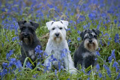 Miniature Schnauzers in Bluebells--Photographic Print