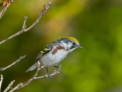 Minnesota, Mendota Heights, Chestnut Sided Warbler Perched on a Branch-Bernard Friel-Photographic Print