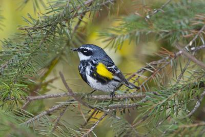 Minnesota, Mendota Heights, Yellow Rumped Warbler Perched on Branch-Bernard Friel-Photographic Print