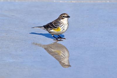 Minnesota, Mendota Heights, Yellow Rumped Warbler Perched-Bernard Friel-Photographic Print