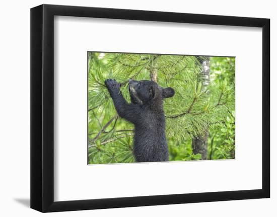 Minnesota, Minnesota Wildlife Connection. Black Bear Cub in a Pine-Rona Schwarz-Framed Photographic Print