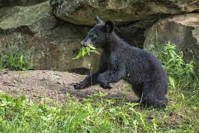 Minnesota, Sandstone, Black Bear Cub with Leaf in Mouth-Rona Schwarz-Photographic Print