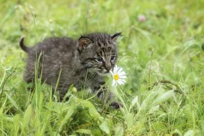 Minnesota, Sandstone, Bobcat Kitten in Spring Grasses with Daisy-Rona Schwarz-Photographic Print