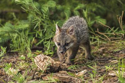 Minnesota, Sandstone, Minnesota Wildlife Connection. Grey Fox Kit-Rona Schwarz-Photographic Print