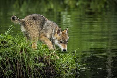 Minnesota, Sandstone, Minnesota Wildlife Connection. Grey Wolf Pup-Rona Schwarz-Photographic Print