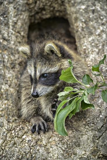 Minnesota, Sandstone. Raccoon in a Hollow Tree-Rona Schwarz-Photographic Print