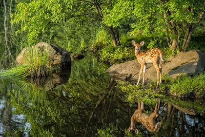 Minnesota, Sandstone, White Tailed Deer Fawn and Foliage-Rona Schwarz-Photographic Print