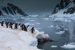 Gentoo Penguins, Antarctica by Mint Images/ Art Wolfe
