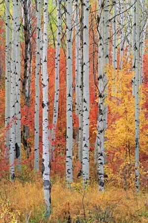 A Forest of Aspen and Maple Trees in the Wasatch Mountains, with Striking Yellow and Red Autumn Fol